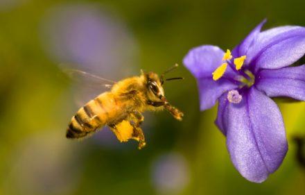 Abeja-tomando-miel-de-una-flor-4
