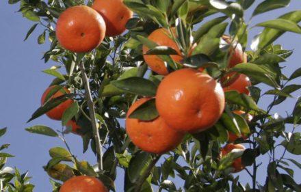 _mandarina
