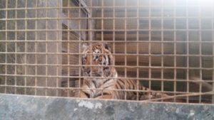 tigreencerrado