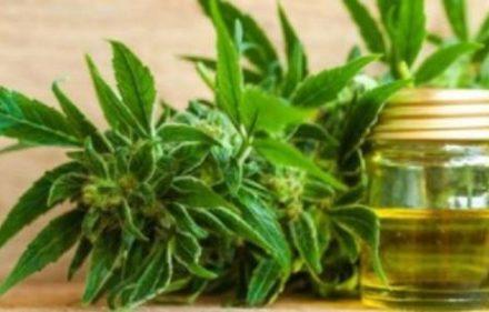 cannabismedicinal_77565_77565