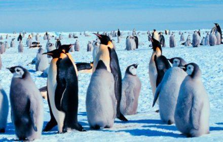 pinguino-emperador-800x375