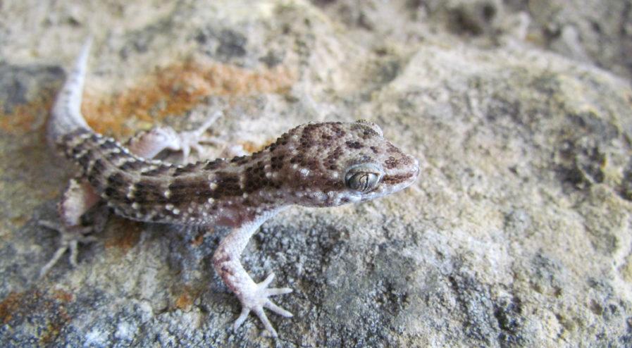 Homonota fasciata
