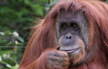 orangutana-sandra
