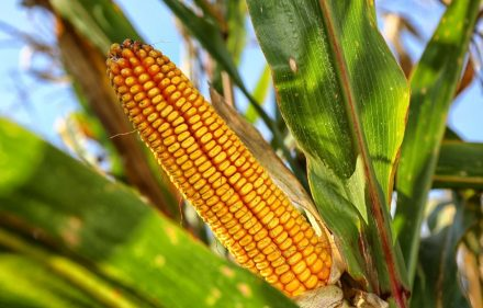 2285_corn-on-the-cob-2083529_1920